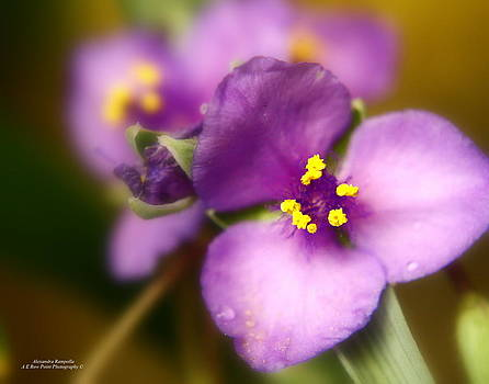 Three Petals Of Purple by Alexandra  Rampolla