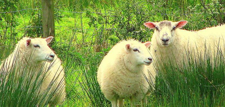 Three Sheep by John Morris