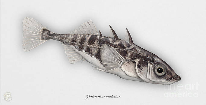 Three-spined stickleback Gasterosteus aculeatus - Stichling - L'epinoche - Espinoso - Kolmipiikki by Urft Valley Art