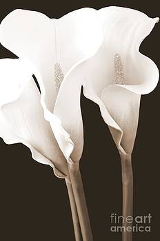 Mary Deal - Three Tall Calla Lilies in Sepia