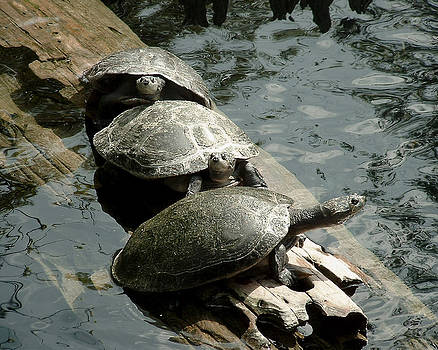 Three Turtles by Tanya Hamell
