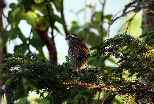 Kathy J Snow - Throated Sparrow