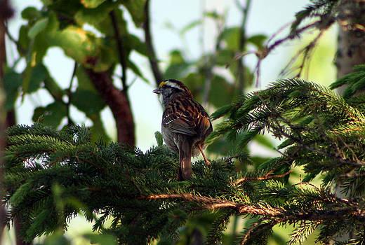 Throated Sparrow by Kathy J Snow
