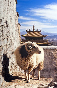 Tim Hester - Tibetan Temple With Ram