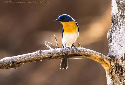 Tickbell's Blue Flycatcher by Virag Yelegaonkar