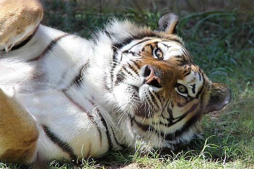Tiger by Adrienne Franklin