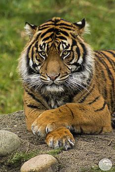 Tiger by Audrey Elisabeth