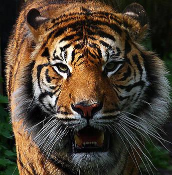 Tiger by Derek Sherwin