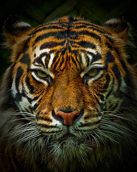 Tiger Eyes by Elaine Snyder