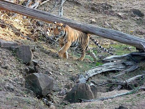 Tiger lifting a log. by Rashid Hamza