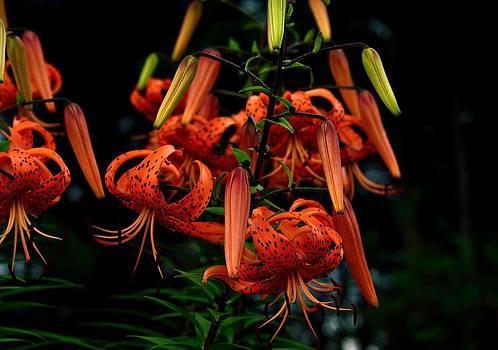 Tiger Lilies by Glenn Sanborn