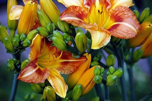 Tiger Lily 1 by David Earl Johnson