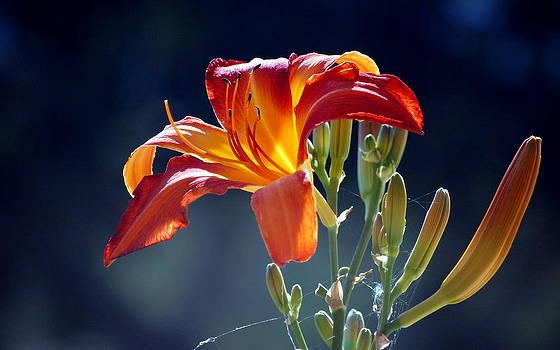 Tiger Lily by AJ  Schibig
