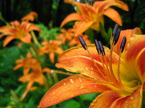 Tiger Lily by Jennifer Randall