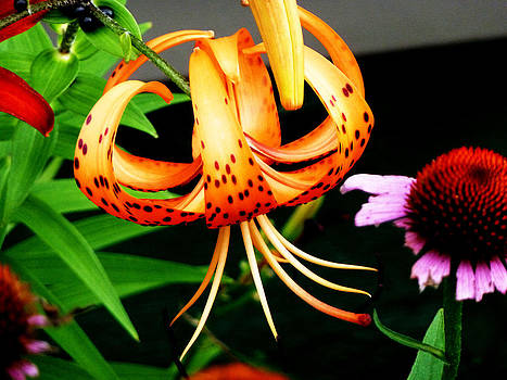 Tiger Lily by Timothy Thornton