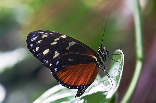 Tiger Longwing Butterfly by Cheryl Cencich