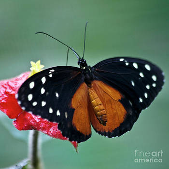 Heiko Koehrer-Wagner - Tiger longwing Butterfly