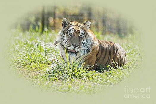 Tiger Portrait by Bonnie Barry