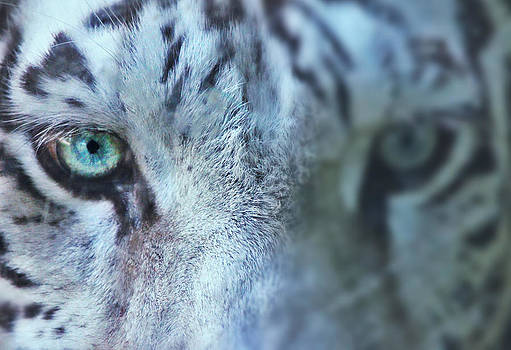 Tiger Stare by Kyle Ferguson