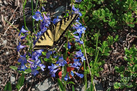 Charles Kozierok - Tiger Swallowtail Breakfast
