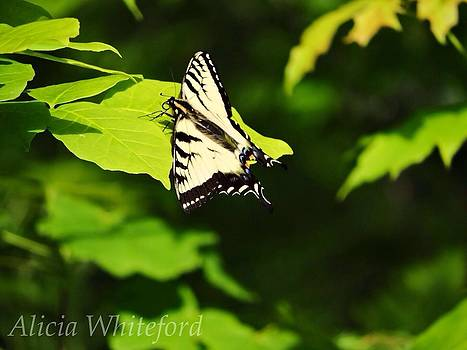 Tiger Swallowtail Butterfly by Alicia Whiteford