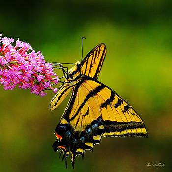 Karen Slagle - Tiger Swallowtail Butterfly