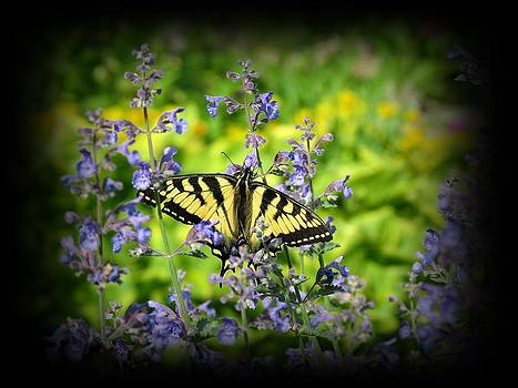 MTBobbins Photography - Tiger Swallowtail Butterfly on Catmint