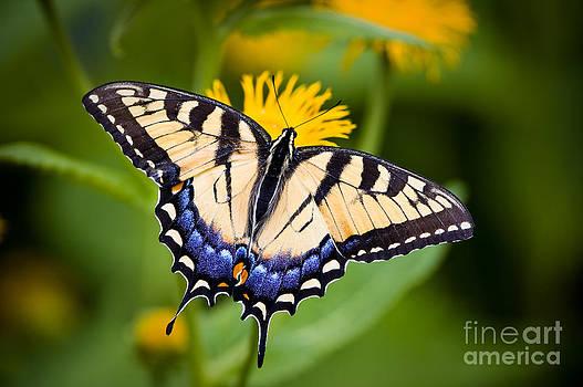 Oscar Gutierrez - Tiger Swallowtail Butterfly
