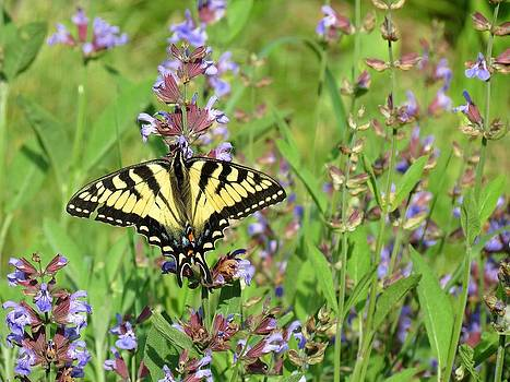MTBobbins Photography - Tiger Swallowtail on Sage Flowers