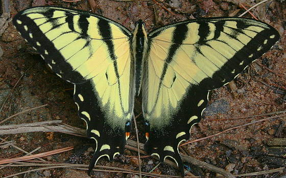 Tiger Swallowtail by Stephen Melcher