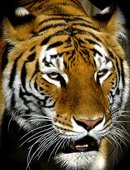 Venetia Featherstone-Witty - Tiger Tiger Burning Bright