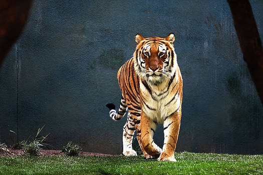 Tiger Walking by Kim French