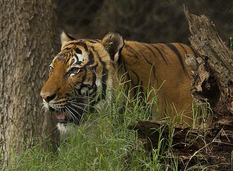Tiger2 by Marty Maynard