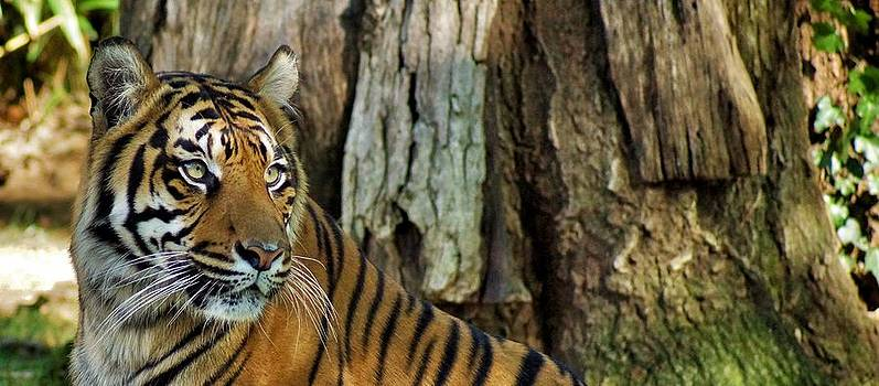 Tiger's Eyes by Jean Goodwin Brooks
