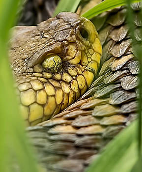 Timber Rattler in the Grass by David Johnson