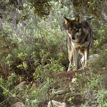 Angel Ciesniarska - timber wolf