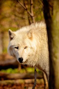 Timber Wolf by Gary Campbell
