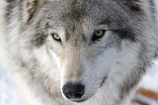Timber Wolf by Jonathan Edwards - Corvidae Studio Photos