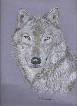 Timber wolf portrait by Sandra Muirhead
