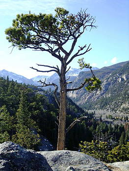 Timberline Tree by Stephen Schaps