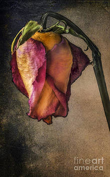 Timeless Rose by Deena Athans