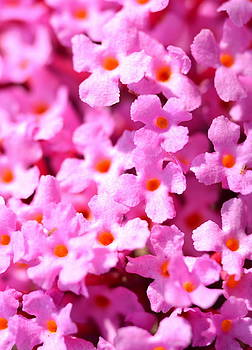 Tiny Pink Flowers by Riad Belhimer
