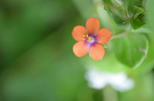 Tiny Rosy Flower by Riad Belhimer