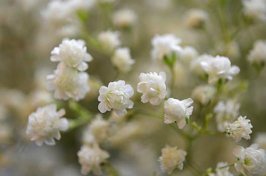 Tiny White Flowers by Riad Belhimer