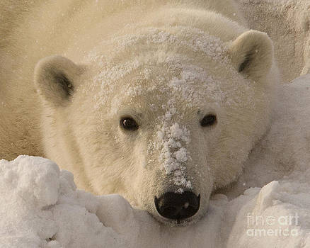 Tired Polar bear by John Remy