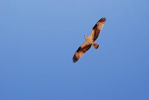 To Soar Like An Osprey by Michele Kaiser
