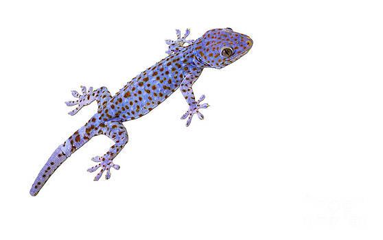 Tim Hester - Tokay Gecko