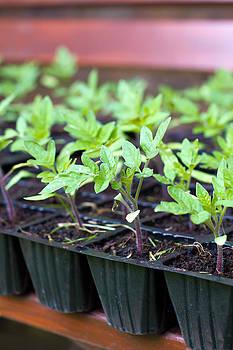 Fizzy Image - tomato plants