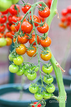 Tomatoes on the vine by Fir Mamat