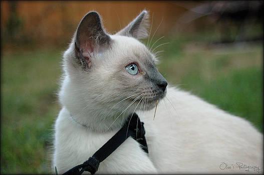 Tonkinese Kitten by Alivia Houdek